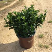 ScentAmazing Gardenia