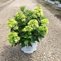 Little Lime Hydrangea