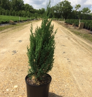 Blue Point Juniper #3