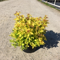 Spirea Gold Mound