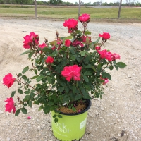 Red Knock Out Rose