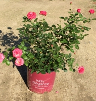 Grandmas Blessing®Easy Elegance Rose