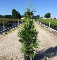 Green Giant Arborvitae #3