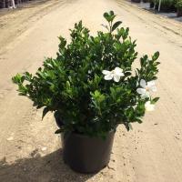 Kleims Hardy Gardenia