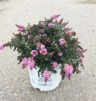 Buddleia Pugster Pink