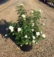 Icecap Rose