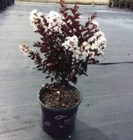 Lunar Magic Crapemyrtle