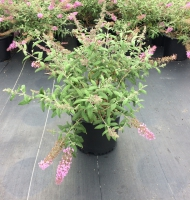 Pink Delight Buddleia