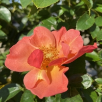 All the Rage Easy Elegance® Rose