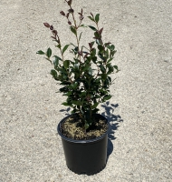 Hana Jiman Camellia sasanqua