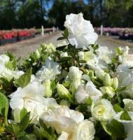 Hardy Gardenia Azalea
