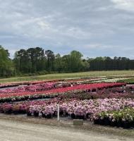 Azalea field