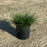 Little Bunny Fountain Grass