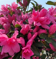 Pink Ruffle Azalea