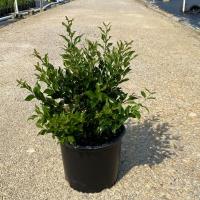 Recurvifolium Ligustrum