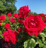 Super Hero Easy Elegance® Rose